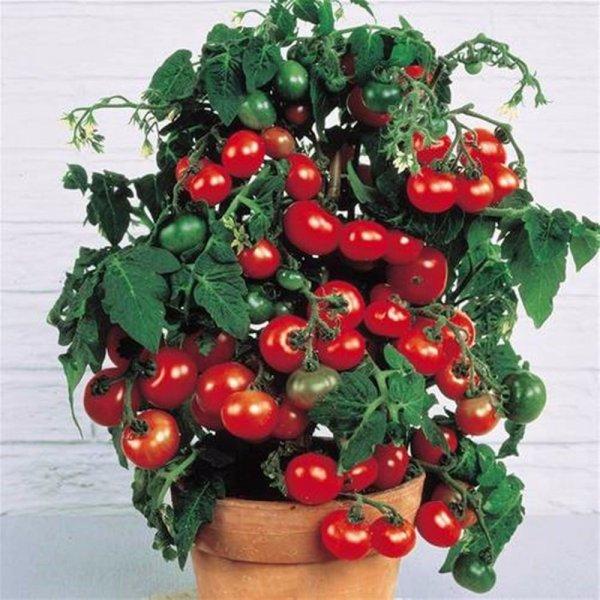 Карликовые помидоры в семенах (200 шт)